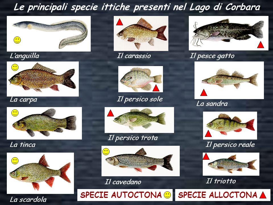 Le principali specie ittiche presenti nel Lago di Corbara