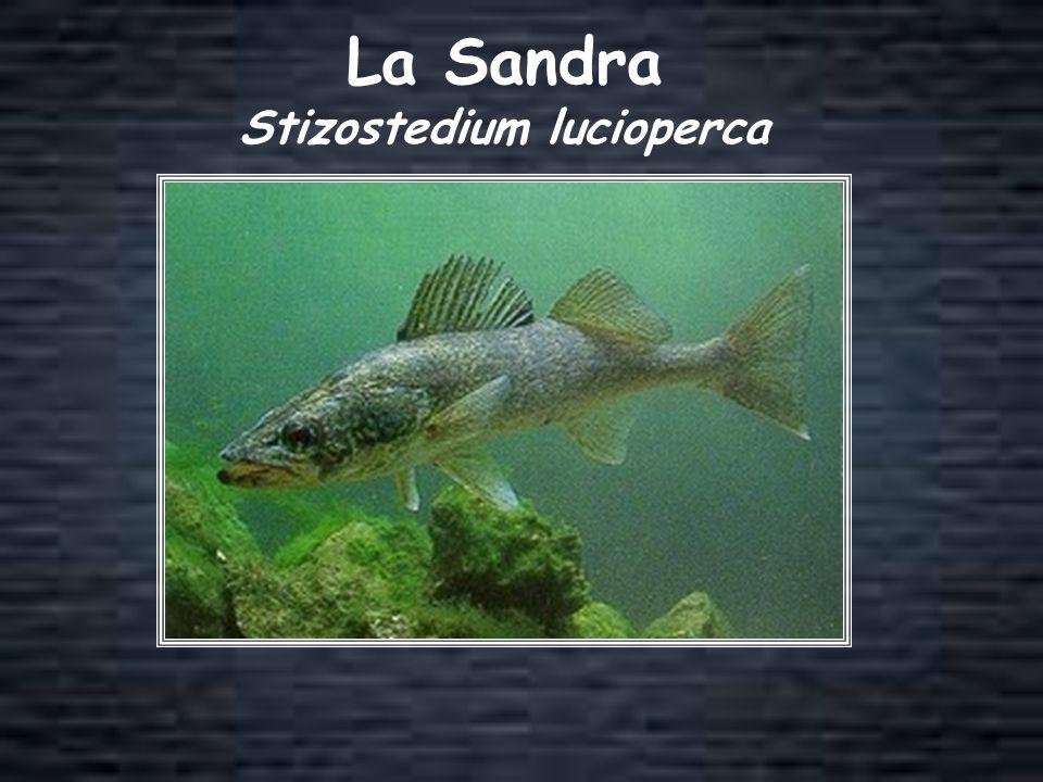 Stizostedium lucioperca