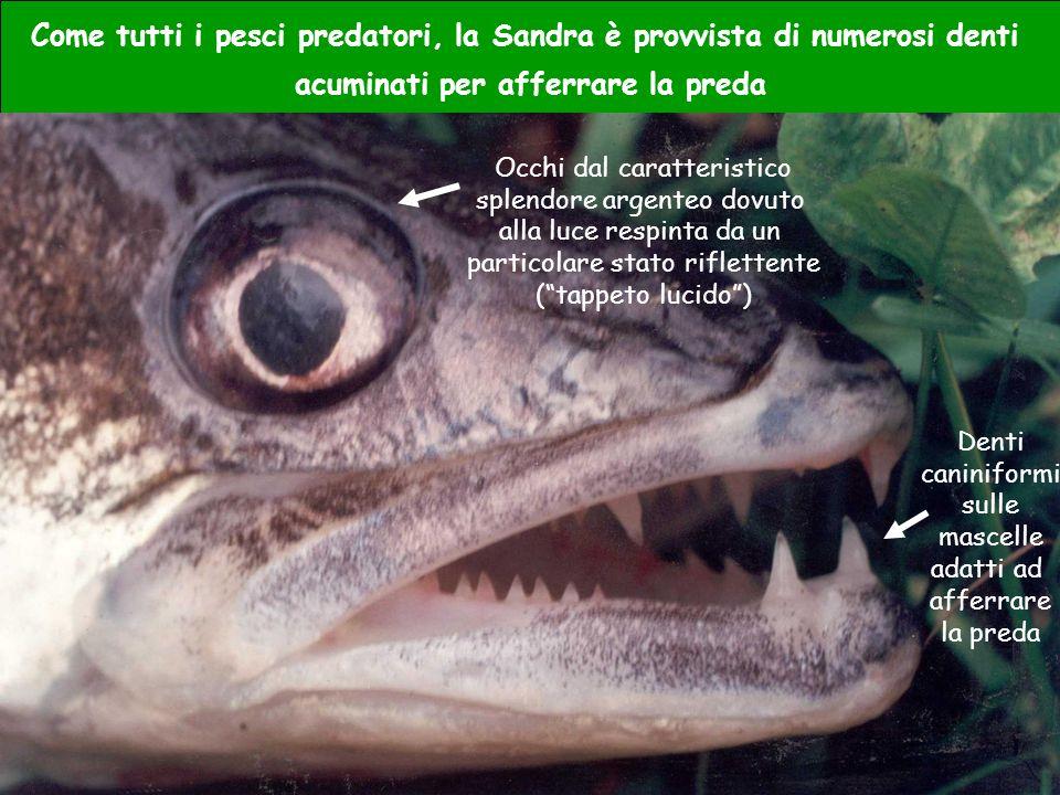 Come tutti i pesci predatori, la Sandra è provvista di numerosi denti