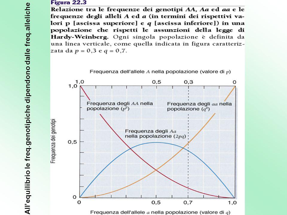 All'equilibrio le freq.genotipiche dipendono dalle freq.alleliche