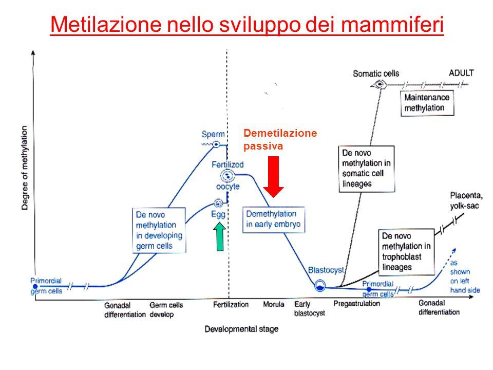 Metilazione nello sviluppo dei mammiferi