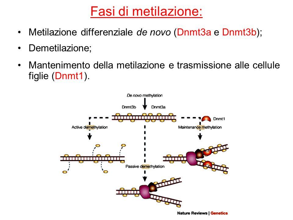 Fasi di metilazione: Metilazione differenziale de novo (Dnmt3a e Dnmt3b); Demetilazione;
