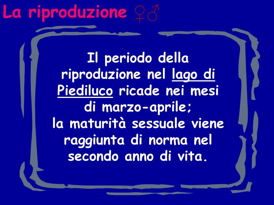 La riproduzione ♀♂ Il periodo della riproduzione nel lago di Piediluco ricade nei mesi di marzo-aprile;