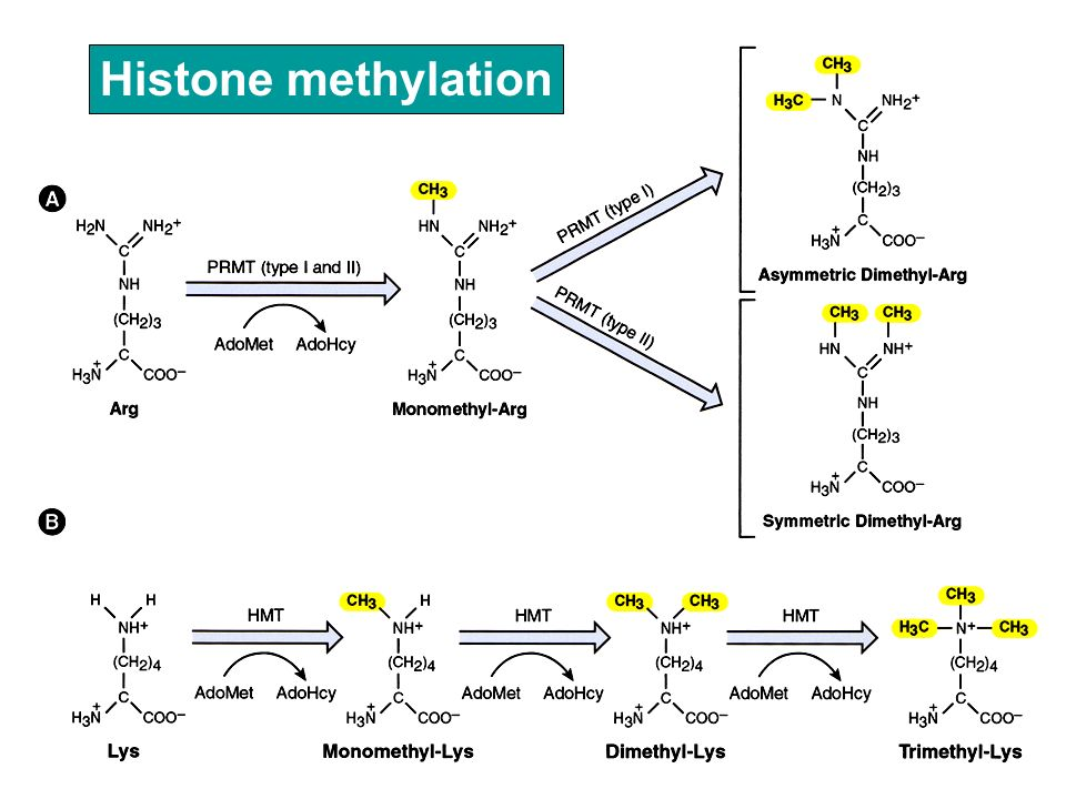 Histone methylation
