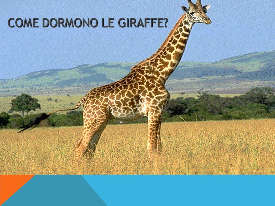 COME DORMONO LE GIRAFFE