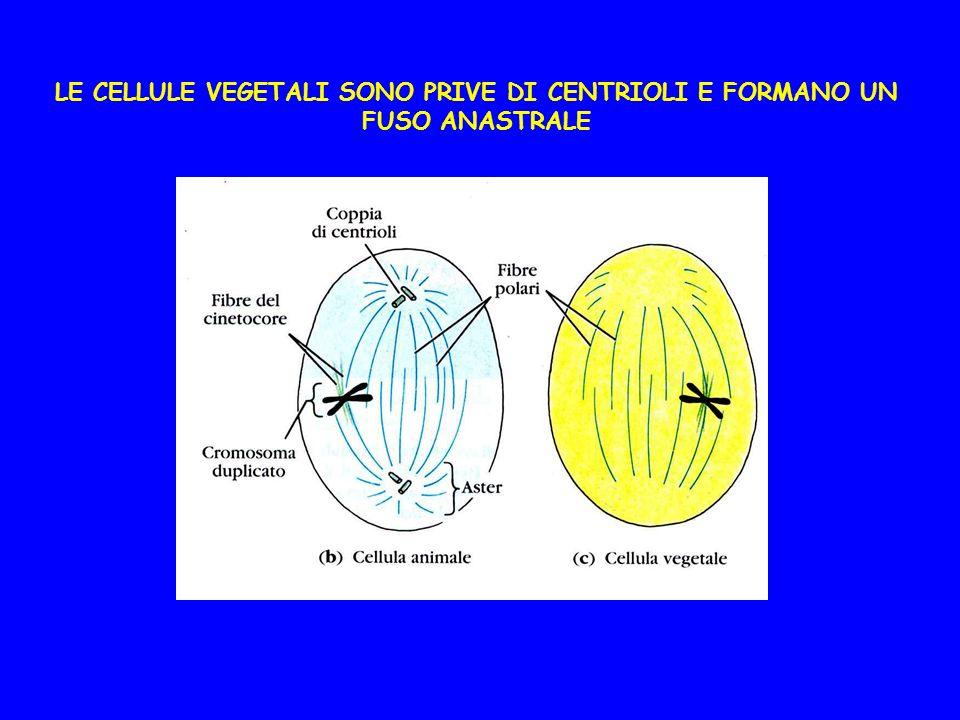LE CELLULE VEGETALI SONO PRIVE DI CENTRIOLI E FORMANO UN FUSO ANASTRALE
