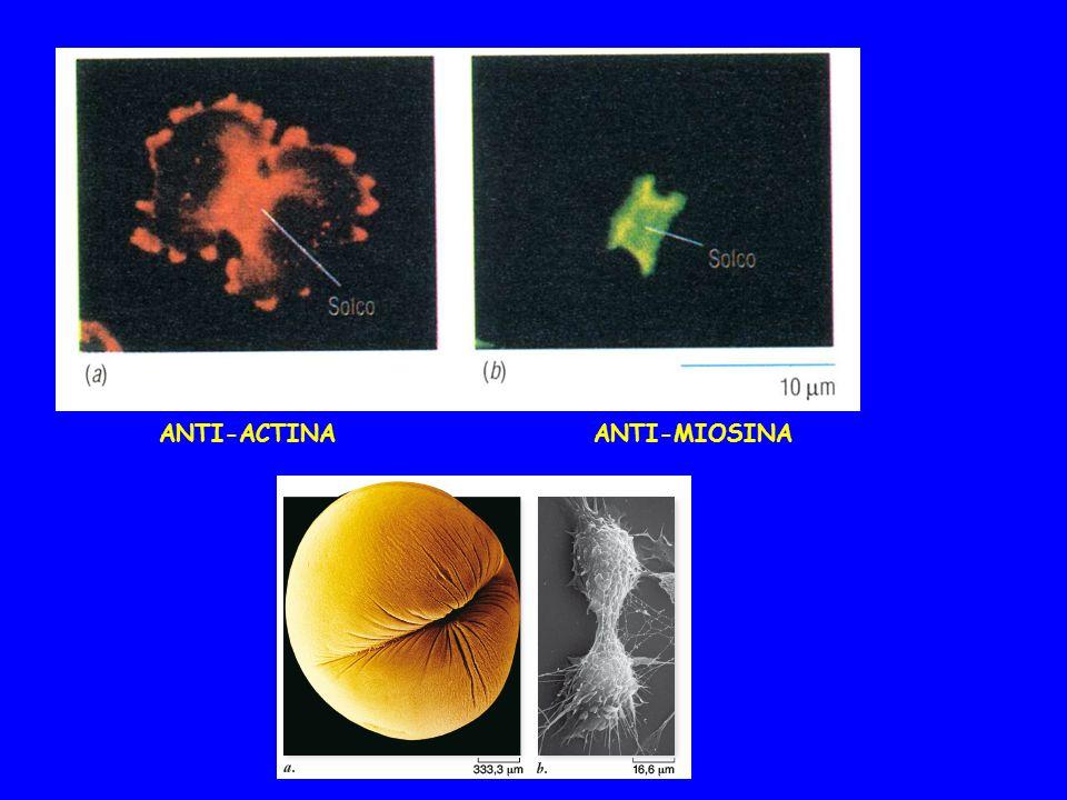 ANTI-ACTINA ANTI-MIOSINA