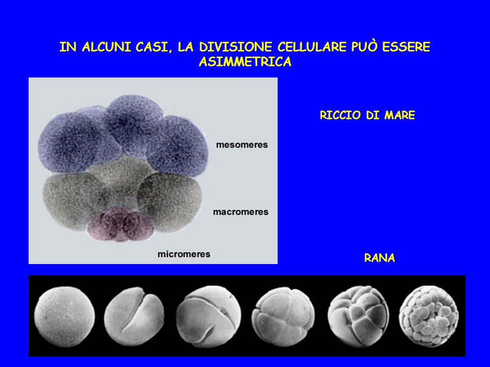 IN ALCUNI CASI, LA DIVISIONE CELLULARE PUÒ ESSERE ASIMMETRICA
