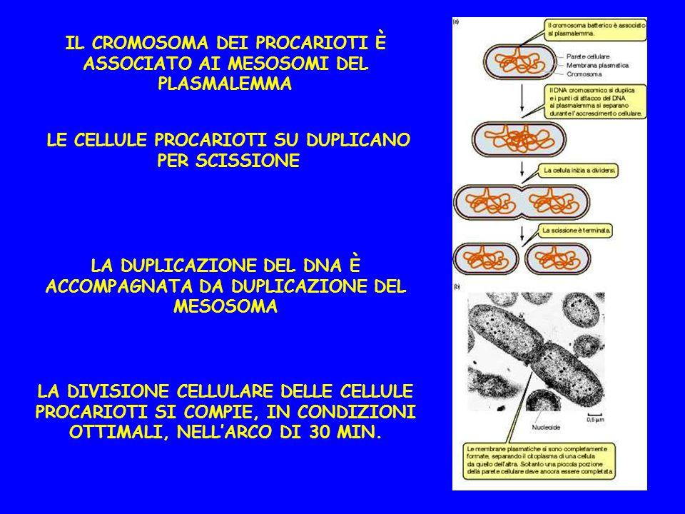 IL CROMOSOMA DEI PROCARIOTI È ASSOCIATO AI MESOSOMI DEL PLASMALEMMA