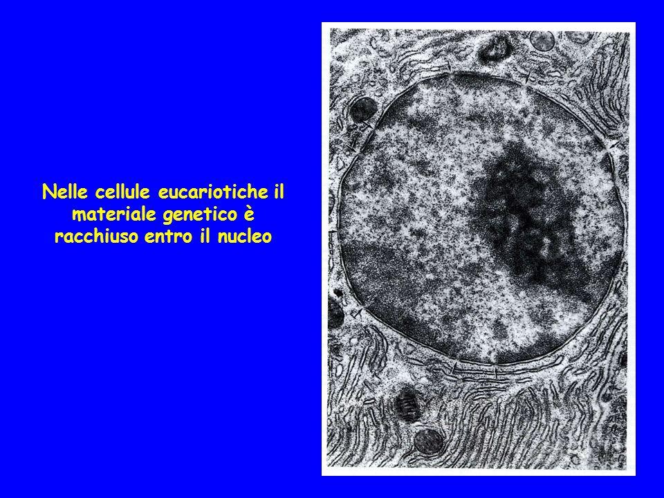 Nelle cellule eucariotiche il materiale genetico è racchiuso entro il nucleo