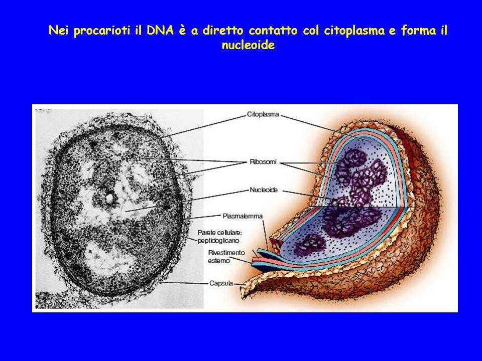Nei procarioti il DNA è a diretto contatto col citoplasma e forma il nucleoide