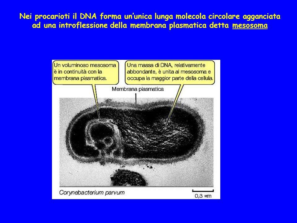 Nei procarioti il DNA forma un'unica lunga molecola circolare agganciata ad una introflessione della membrana plasmatica detta mesosoma
