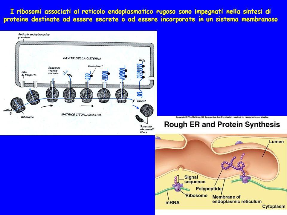 I ribosomi associati al reticolo endoplasmatico rugoso sono impegnati nella sintesi di proteine destinate ad essere secrete o ad essere incorporate in un sistema membranoso