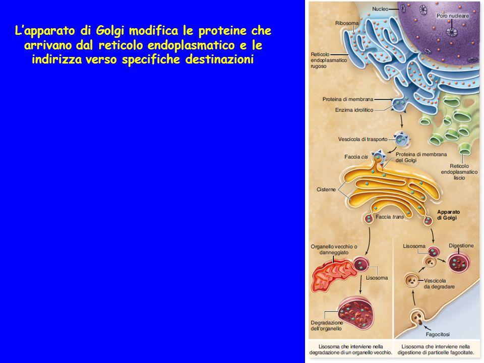 L'apparato di Golgi modifica le proteine che arrivano dal reticolo endoplasmatico e le indirizza verso specifiche destinazioni