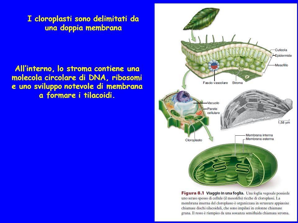I cloroplasti sono delimitati da una doppia membrana