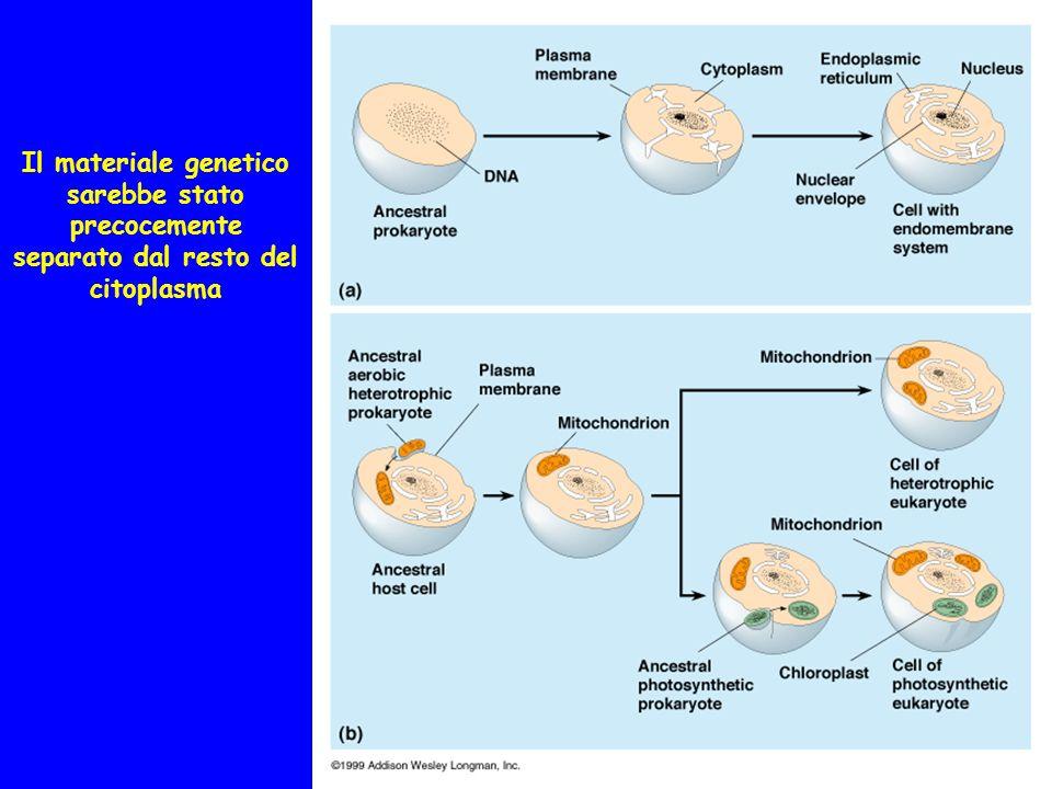 Il materiale genetico sarebbe stato precocemente separato dal resto del citoplasma