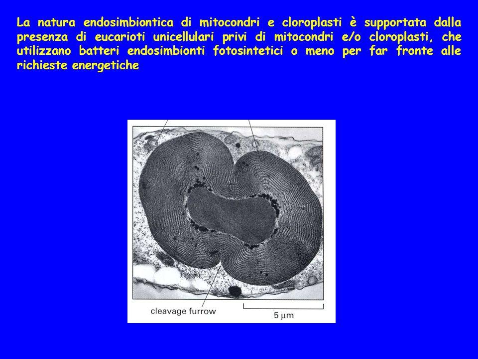 La natura endosimbiontica di mitocondri e cloroplasti è supportata dalla presenza di eucarioti unicellulari privi di mitocondri e/o cloroplasti, che utilizzano batteri endosimbionti fotosintetici o meno per far fronte alle richieste energetiche