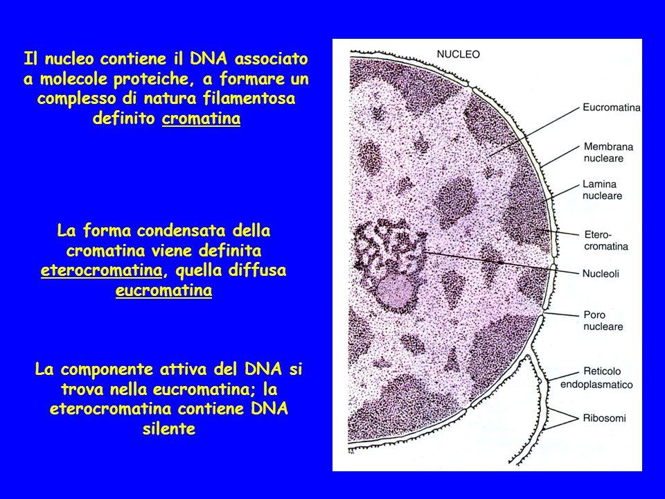 Il nucleo contiene il DNA associato a molecole proteiche, a formare un complesso di natura filamentosa definito cromatina