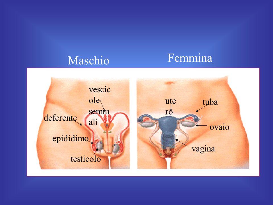 Femmina Maschio vescicole seminali utero tuba deferente ovaio