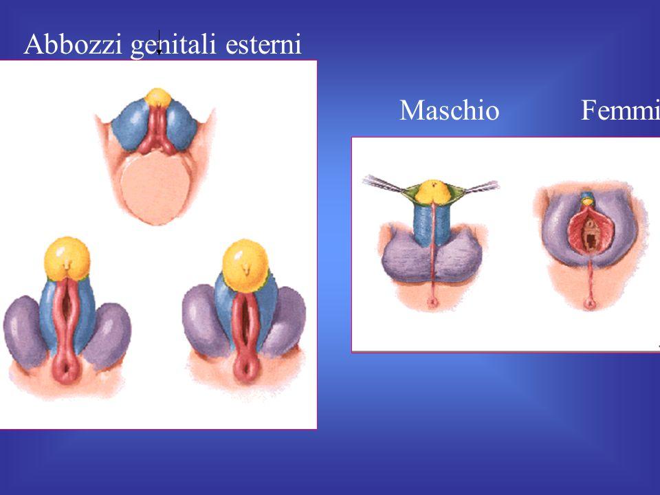 Abbozzi genitali esterni fetali
