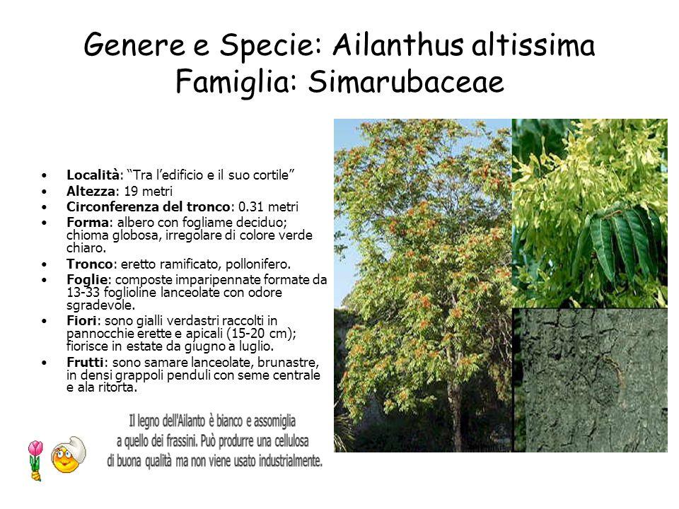 Genere e Specie: Ailanthus altissima Famiglia: Simarubaceae