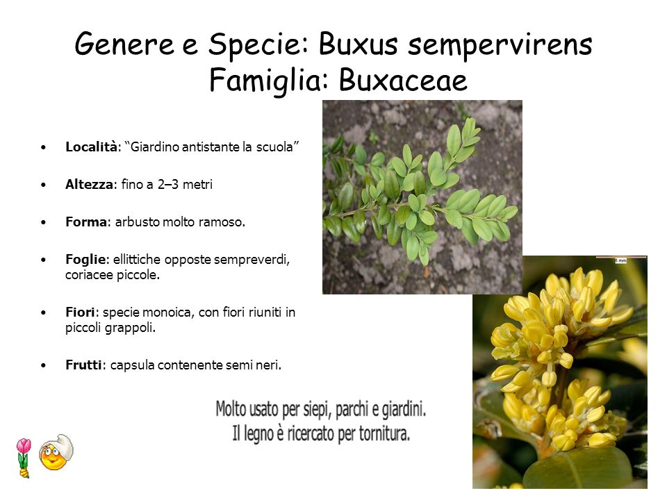 Genere e Specie: Buxus sempervirens Famiglia: Buxaceae