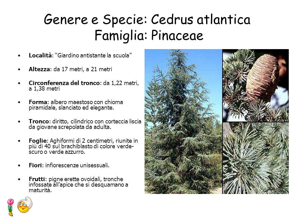 Genere e Specie: Cedrus atlantica Famiglia: Pinaceae