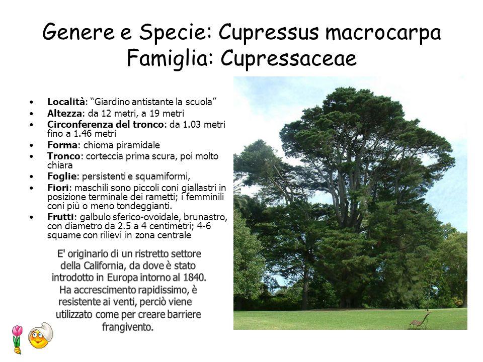 Genere e Specie: Cupressus macrocarpa Famiglia: Cupressaceae