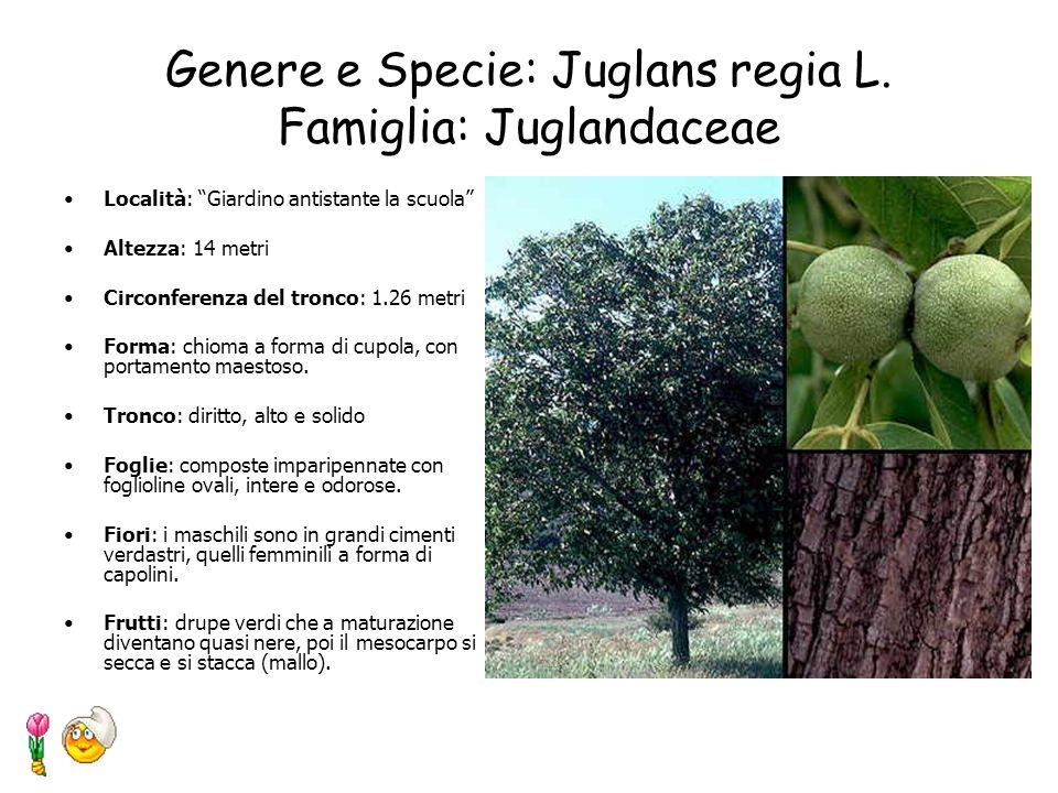 Genere e Specie: Juglans regia L. Famiglia: Juglandaceae