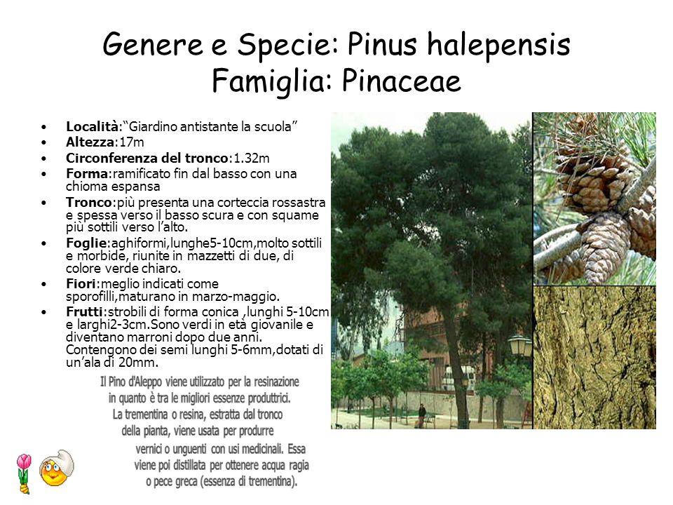 Genere e Specie: Pinus halepensis Famiglia: Pinaceae