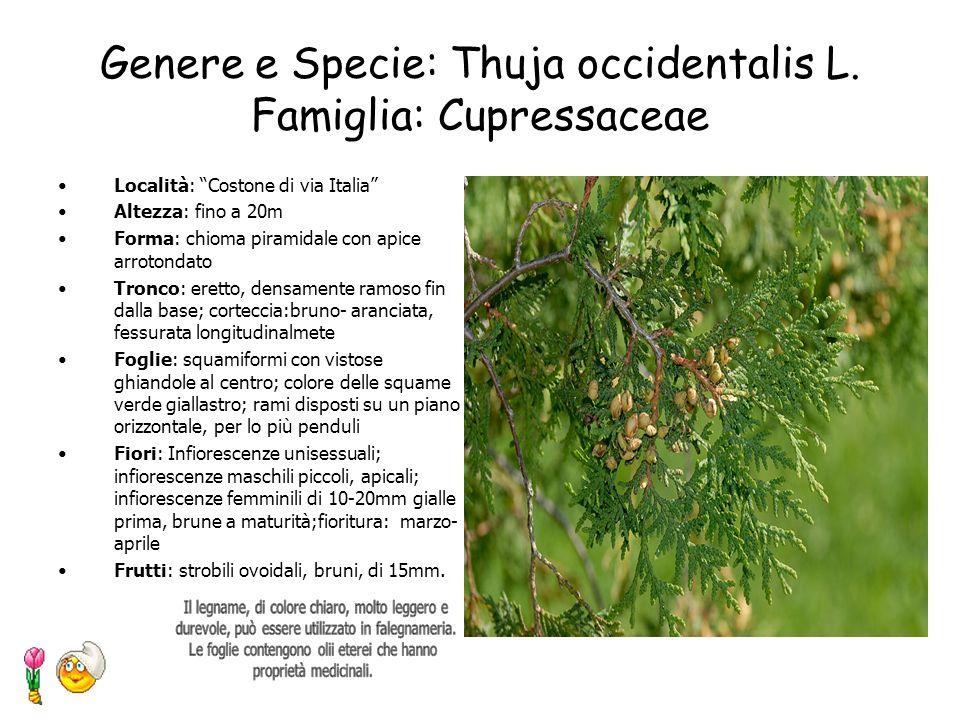 Genere e Specie: Thuja occidentalis L. Famiglia: Cupressaceae