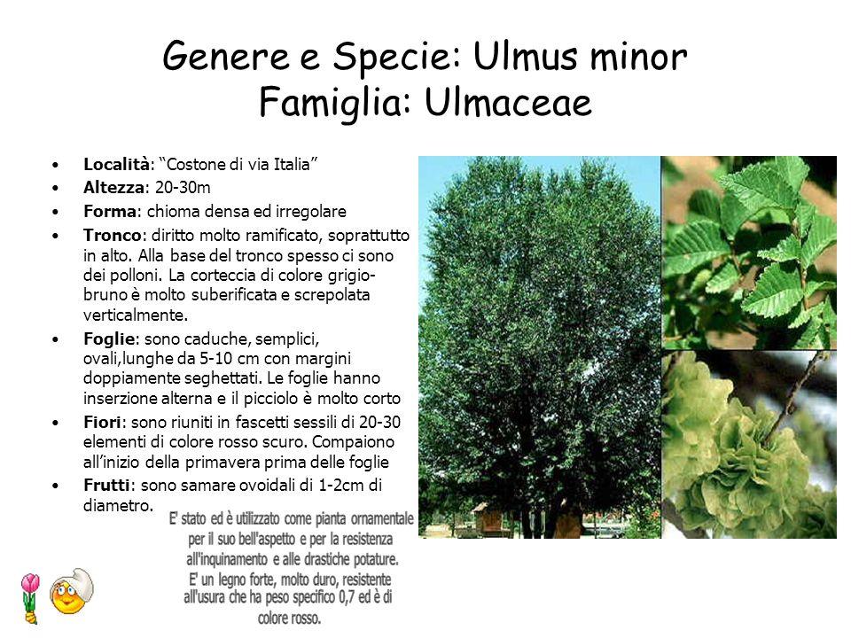 Genere e Specie: Ulmus minor Famiglia: Ulmaceae