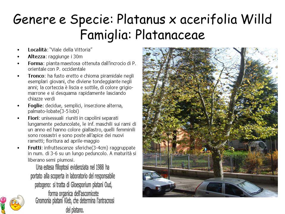 Genere e Specie: Platanus x acerifolia Willd Famiglia: Platanaceae