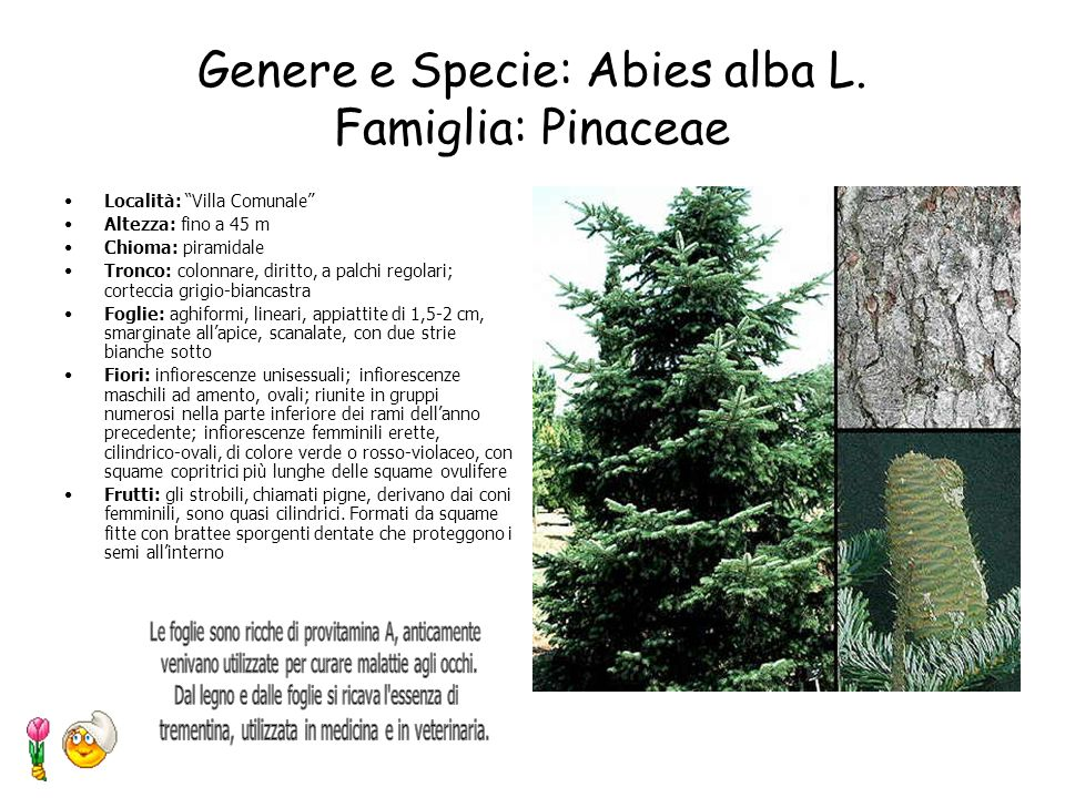Genere e Specie: Abies alba L. Famiglia: Pinaceae