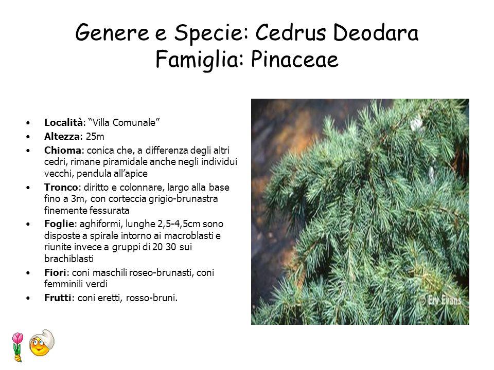 Genere e Specie: Cedrus Deodara Famiglia: Pinaceae
