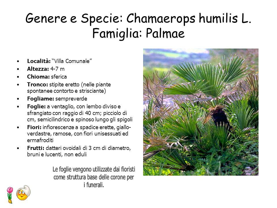 Genere e Specie: Chamaerops humilis L. Famiglia: Palmae