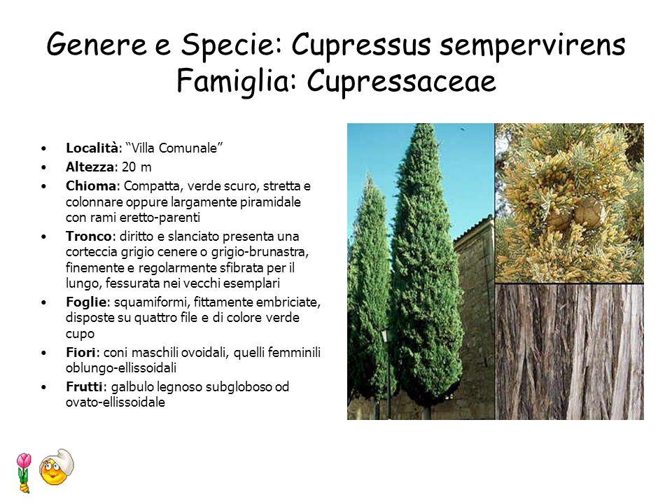 Genere e Specie: Cupressus sempervirens Famiglia: Cupressaceae