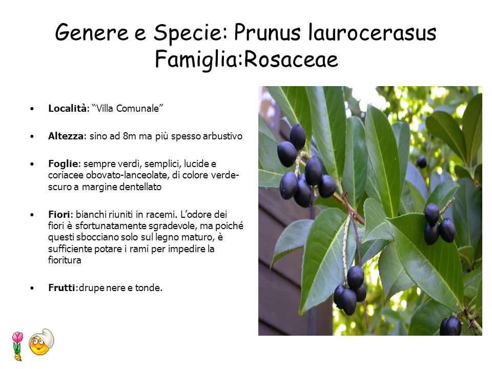 Genere e Specie: Prunus laurocerasus Famiglia:Rosaceae