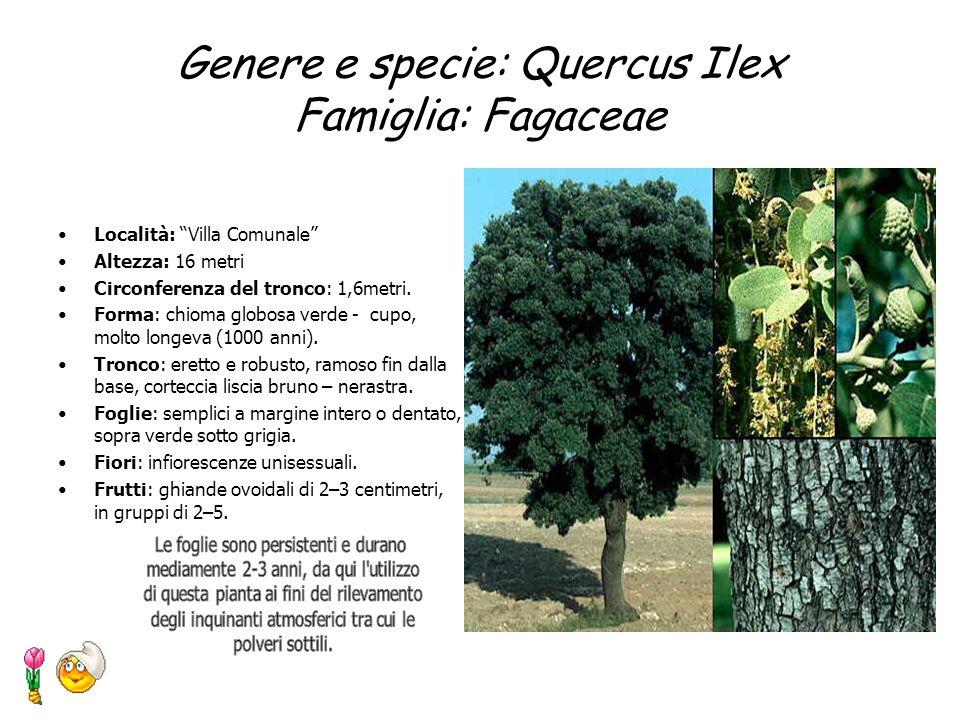 Genere e specie: Quercus Ilex Famiglia: Fagaceae