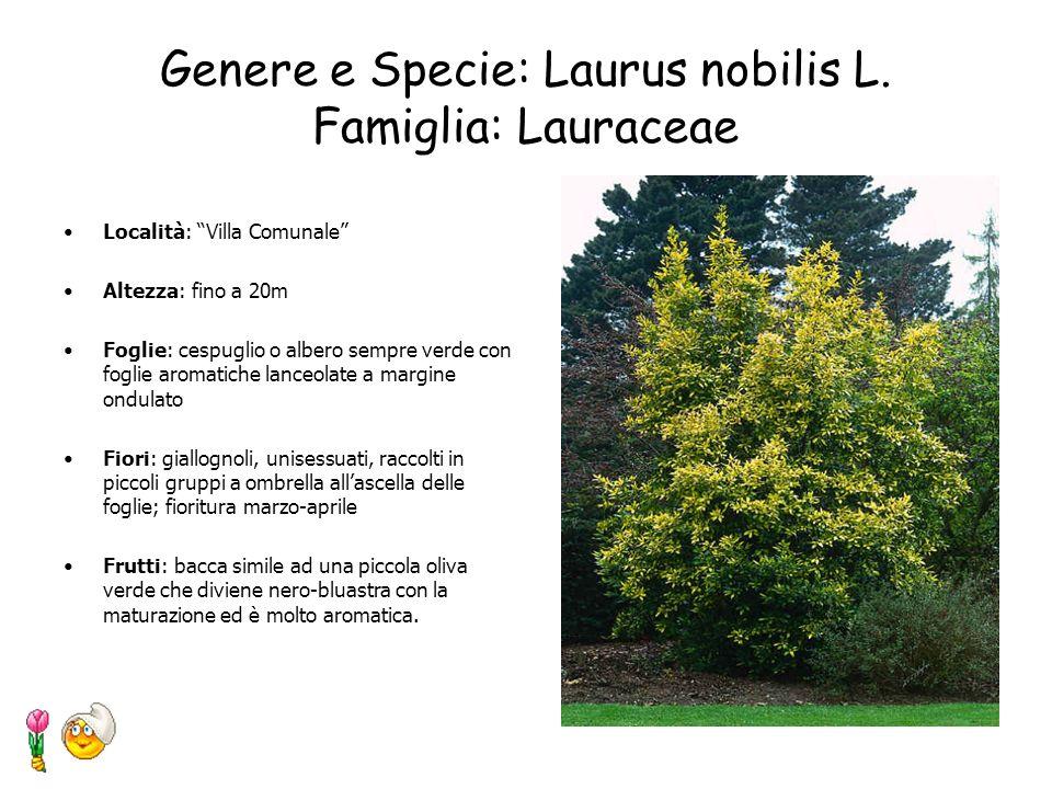Genere e Specie: Laurus nobilis L. Famiglia: Lauraceae
