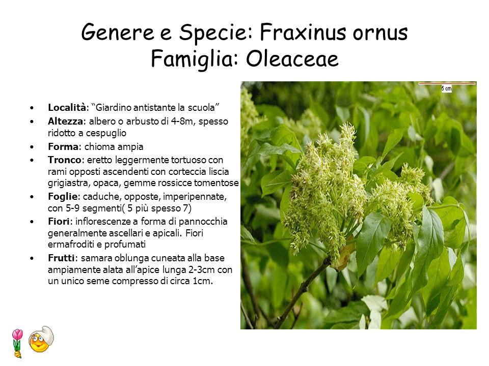 Genere e Specie: Fraxinus ornus Famiglia: Oleaceae