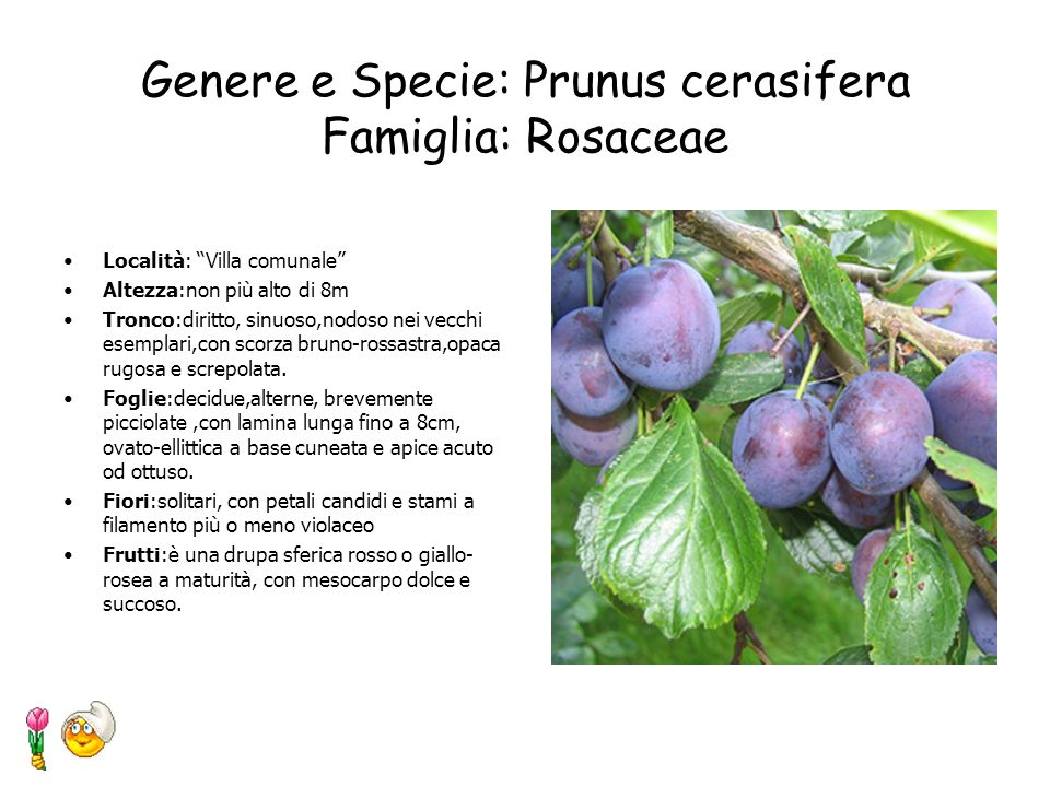 Genere e Specie: Prunus cerasifera Famiglia: Rosaceae