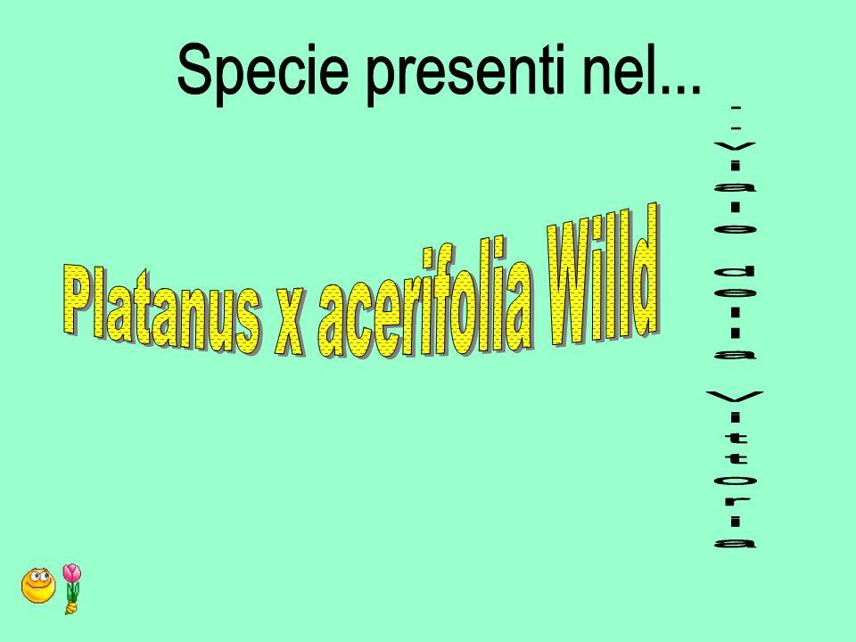 Platanus x acerifolia Willd