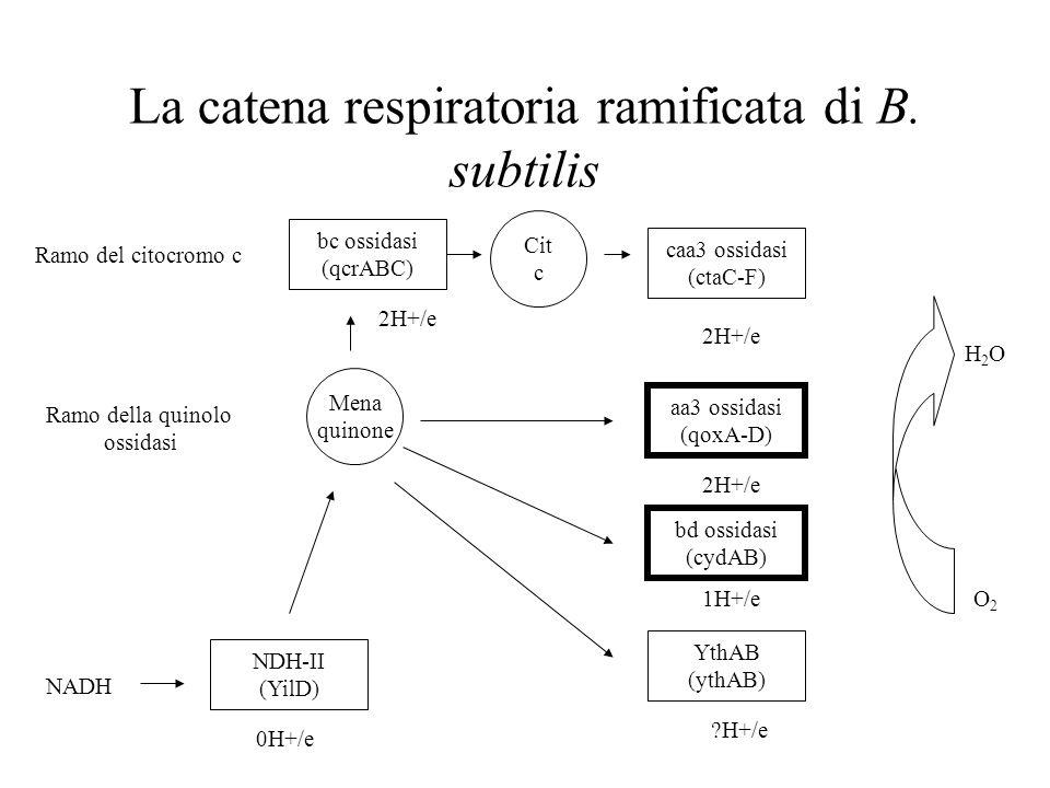 La catena respiratoria ramificata di B. subtilis