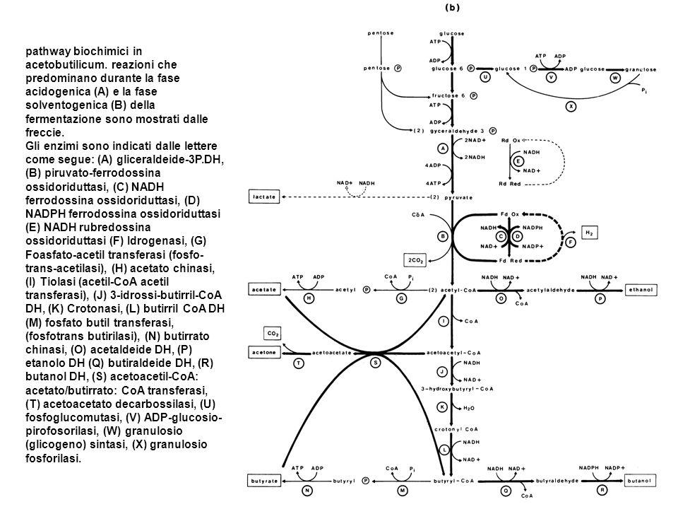 pathway biochimici in acetobutilicum