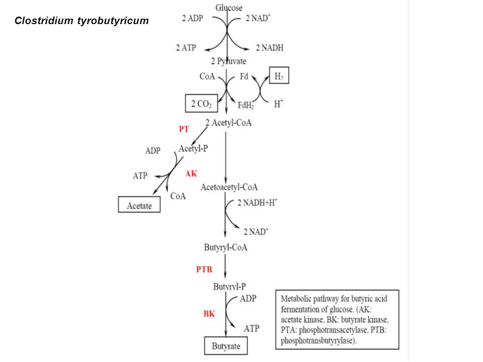 Clostridium tyrobutyricum