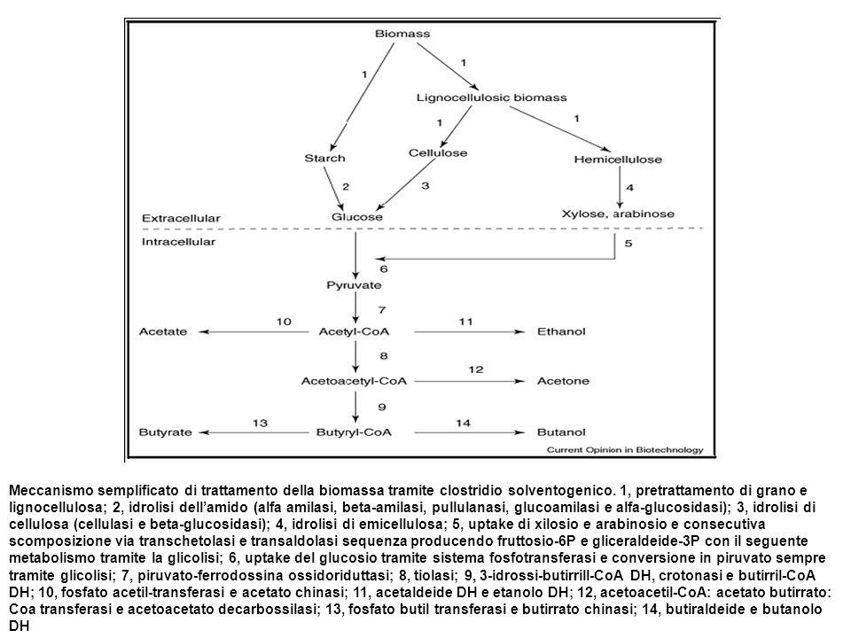 Meccanismo semplificato di trattamento della biomassa tramite clostridio solventogenico.