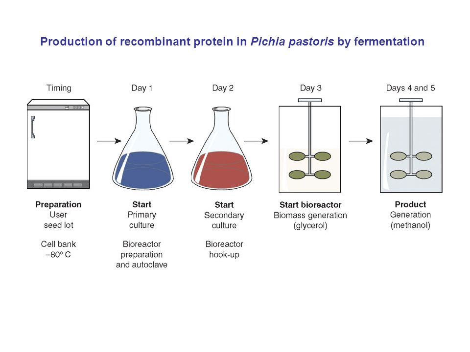Production of recombinant protein in Pichia pastoris by fermentation
