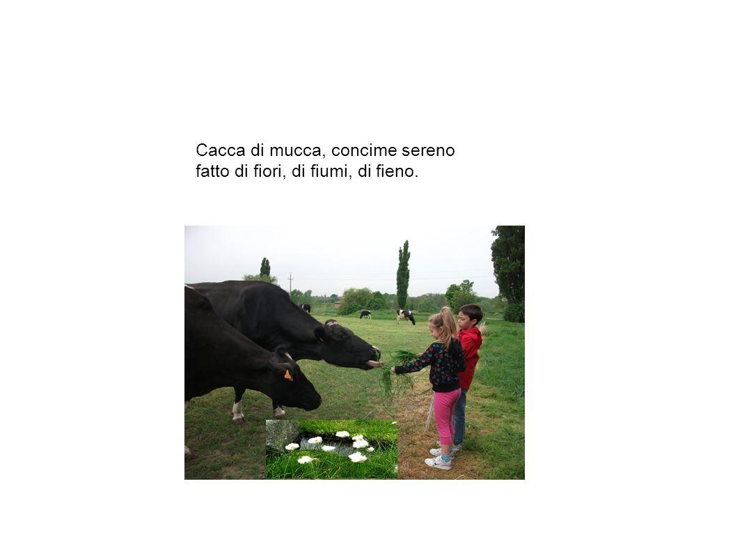 Cacca di mucca, concime sereno