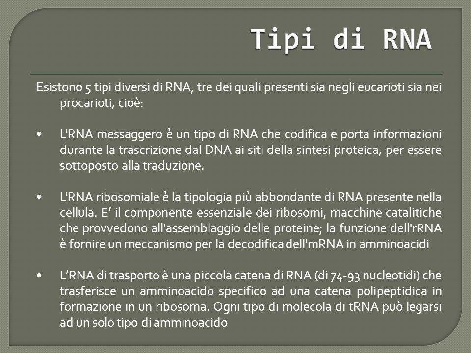 Tipi di RNA Esistono 5 tipi diversi di RNA, tre dei quali presenti sia negli eucarioti sia nei procarioti, cioè: